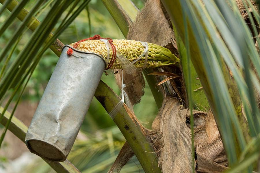 How beneficial is coconut sap?