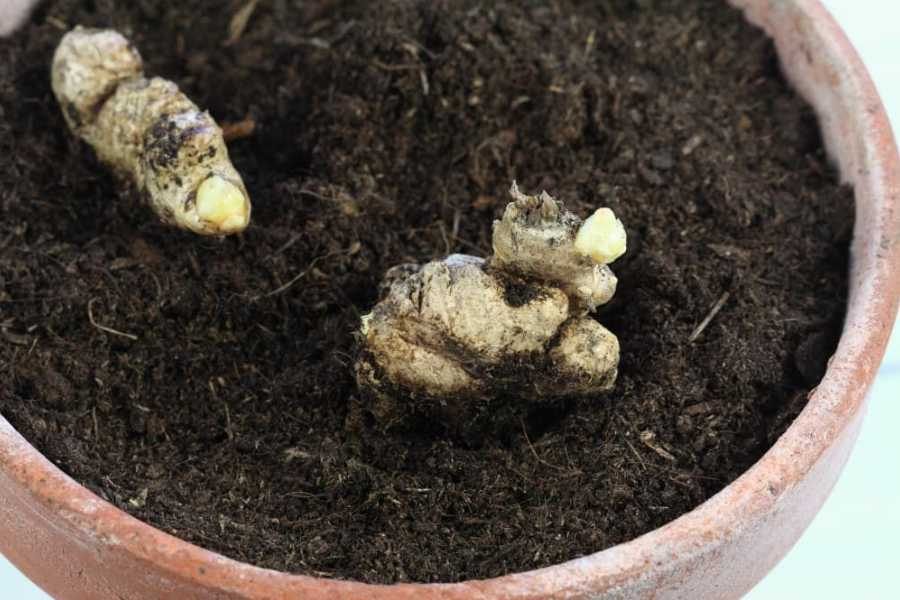 Grow Ginger at Your Home - The Giving Nature
