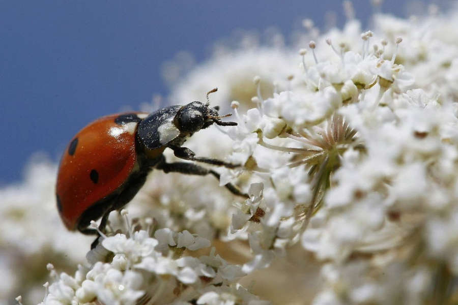 Ladybirds - Beneficial insects